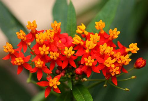 Bông tai Asclepias. Loài cây thân thảo cao từ 60 đến 150 cm. Cụm hoa có dạng tán ở ngọn thân và có khoảng 6-12 hoa màu vàng ở giữa, nâu ở xung quanh; cánh hoa dính nhau ở phần góc và rũ xuống. Ở Việt Nam, cây thường được trồng vì hoa có dạng như cái hoa tai, nhưng các chuyên gia cảnh báo cây có độc nên phải thận trọng khi trồng