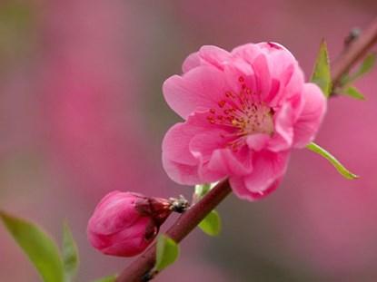 Mẹo vặt gia đình bao gồm cả hoa đào và những tác dụng chữa bệnh kỳ diệu