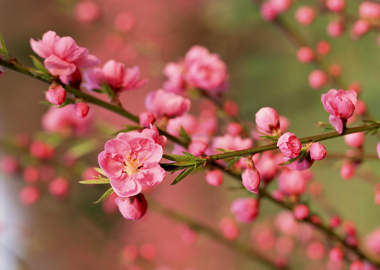Hoa đào đã trở thành loài hoa quen thuộc mỗi độ Tết đến xuân về của người Việt Nam.