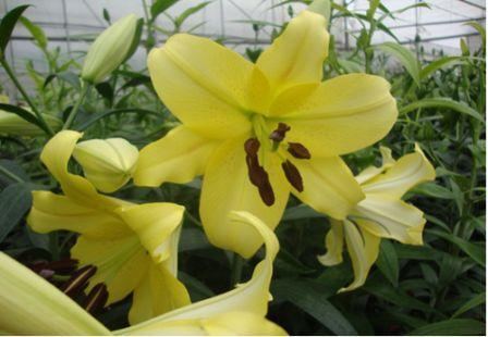 Nhân giống và sản xuất thành công hoa lily Manissa và Belladonna