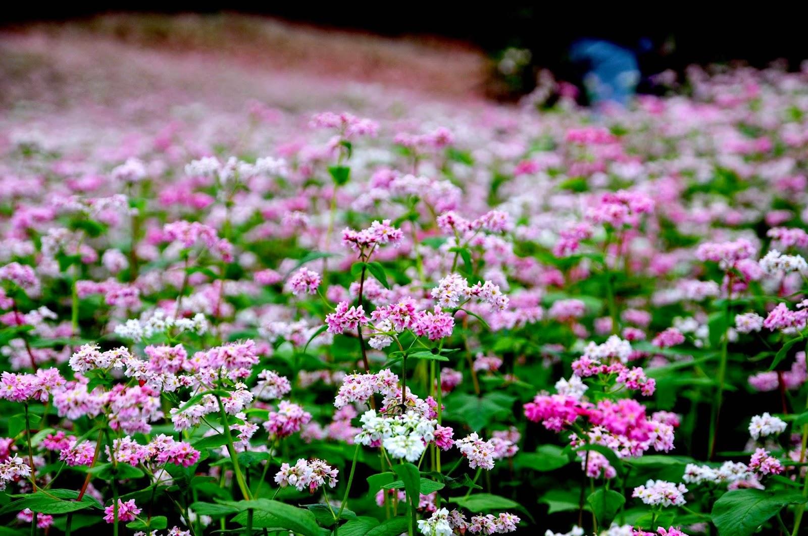 Không giống như Lào Cai, mùa hè ở Hà Giang hấp dẫn bởi khí hậu mát mẻ, vẻ đẹp của sắc hoa tam giác mạch. Đây được xem như là mùa đẹp nhất ở Hà Giang, nó khoác trên mình chiếc áo tím hồng quyến rũ của sắc hoa tam giác mạch.
