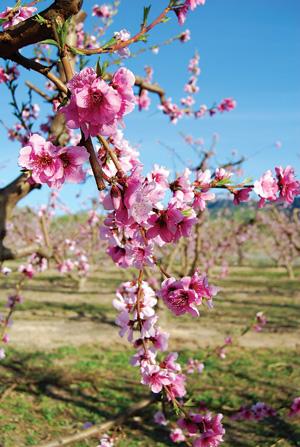 Bài thuốc chữa bệnh từ hoa đào là phương thuốc cần thiết trong mẹo vặt gia đình