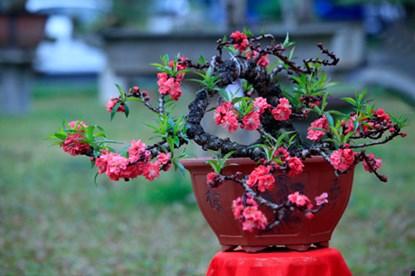 Nếu các loại đào khác đơm hoa từ những cành đào nhỏ thì đào Thất Thốn có thế bất chợt đơm hoa từ những trụ gốc khô khốc