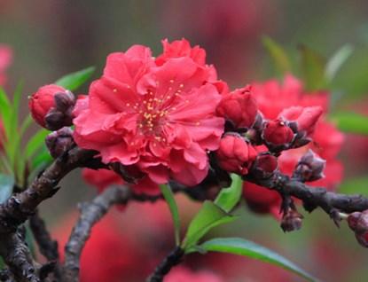 Hoa có màu hồng thẫm, số lượng cánh hoa trên một bông hoa đào thất thốn tối đa khoảng 49 - 50 cánh