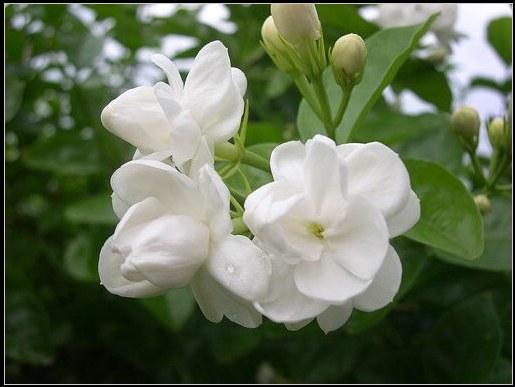 Không chỉ thơm, hoa nhài còn nổi tiếng bởi hiệu quả làm đẹp da mà nó mang lại