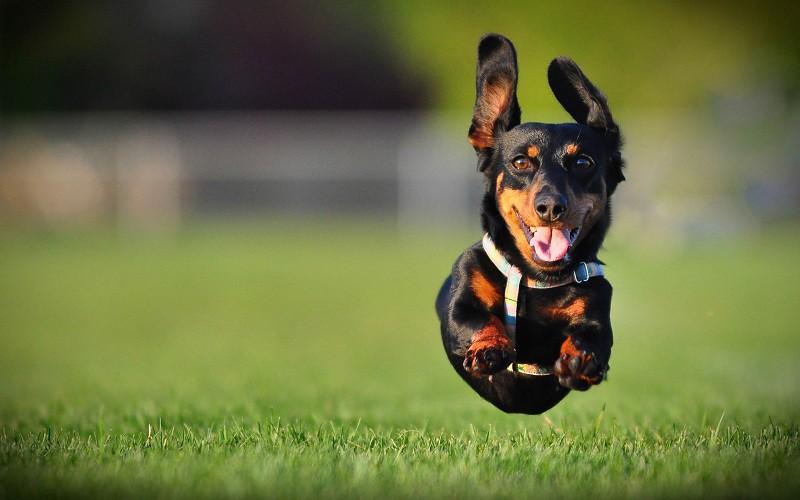 Những vấn đề bạn phải biết nếu muốn nuôi một chú chó trong nhà