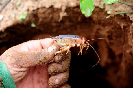 Làm giàu từ nuôi con đặc sản: Nghề săn dế cơm kiếm 300.000 đồng một ngày ở miền Tây