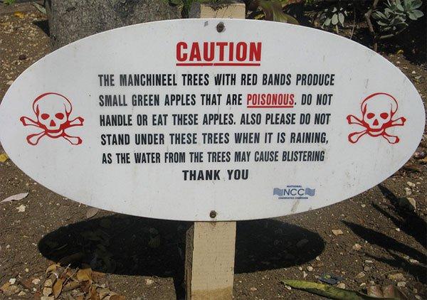 Cây độc: 'Quả táo nhỏ của thần chết' chỉ đứng cạnh cũng đau đớn hàng giờ