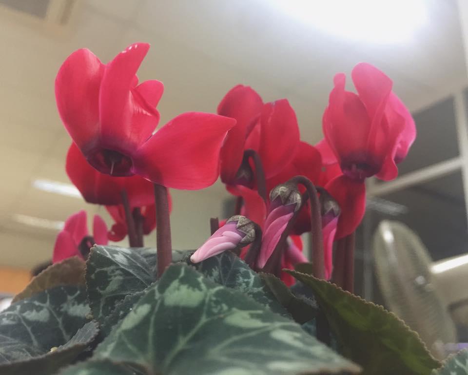 Cây độc: 'Thần chết ẩn nấp' trong loài hoa nhút nhát luôn cúi gằm mặt