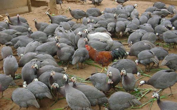 Thu gần 3 tỷ đồng/năm nhờ làm giàu từ nuôi gà sao