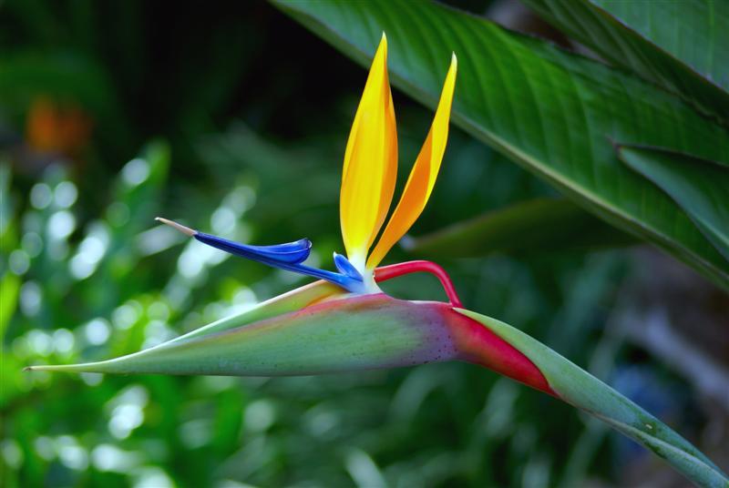 Cây độc: Không nên đứng lâu cạnh hoa thiên điểu, lý do sẽ khiến bạn giật mình