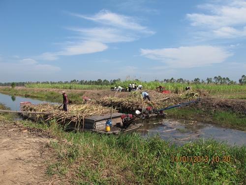 Nông dân Long An thu hoạch mía