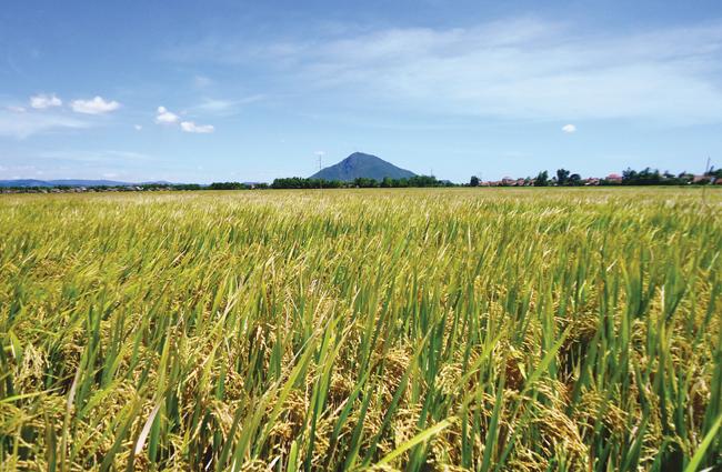 Tăng năng suất cây lúa nhờ áp dụng công nghệ sinh học