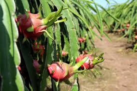 Nhiều vườn cây thanh long bị sâu bệnh hại