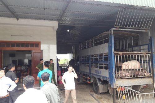 Hà Tĩnh: Bắt giữ 2 xe oto chở hàng chục con lợn chưa qua kiểm dịch, đang trên đường tiêu thụ