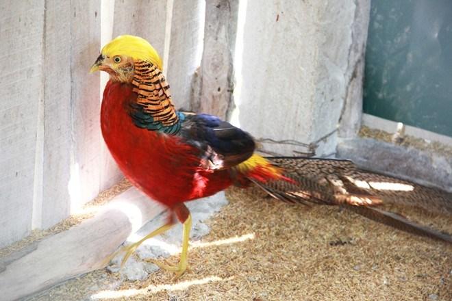 Nhiều đại gia Việt bỏ cả chục triệu đồng để mua chim về chơi tết