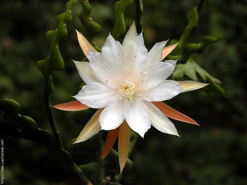 Cách trồng cây hoa quỳnh trong chậu hay trong vườn nhà đều rất đơn giản do loài cây này không quá kén chọn điều kiện