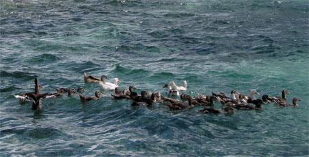 Mô hình chăn nuôi vịt biển