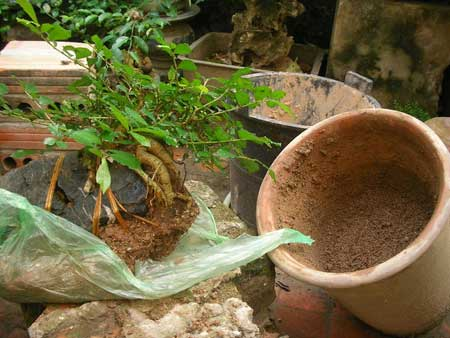 Kỹ thuật trồng cây trở lại chậu cũng cần được chú ý
