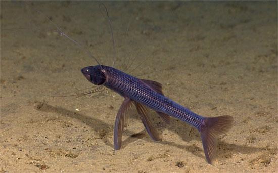 Khám phá thế giới về loài cá 3 chân và mù mắt đã gây không ít sự tò mò cho mọi người