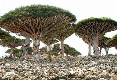 Đảo Socotra sở hữu nhiều loài thực vật độc đáo