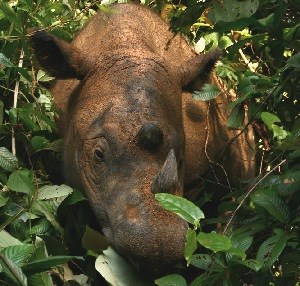 Loài tê giác này đang vướng phải nạn săn bắn trộm