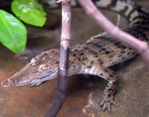 Loài cá sấu bé nhỏ này đang đứng trước nguy cơ tuyệt chủng