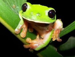 Số lượng loài ếch cây mắt đen đang có nguy cơ giảm dần