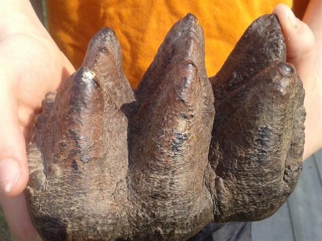 Khám phá thế giới khảo cổ về răng của loài voi tuyệt chủng đang gây được nhiều sự chú ý