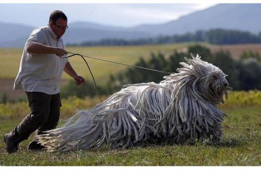Loài chó này hiện được nuôi ở nhiều nơi với nhiệm vụ chăn cừu