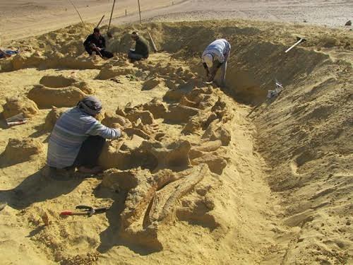 Hóa thạch hoàn chỉnh của một con cá voi cổ đại được các nhà khảo cổ học phát hiện ở Ai Cập. Ảnh Huffington Post