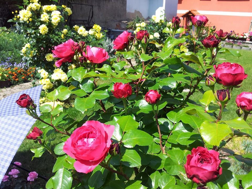 khu vườn với hơn 40 gốc hoa hồng của mẹ Việt ở Séc