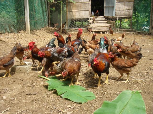 Để đạt năng suất gà cao nhất người nuôi nên nắm vững kỹ thuật chăn nuôi