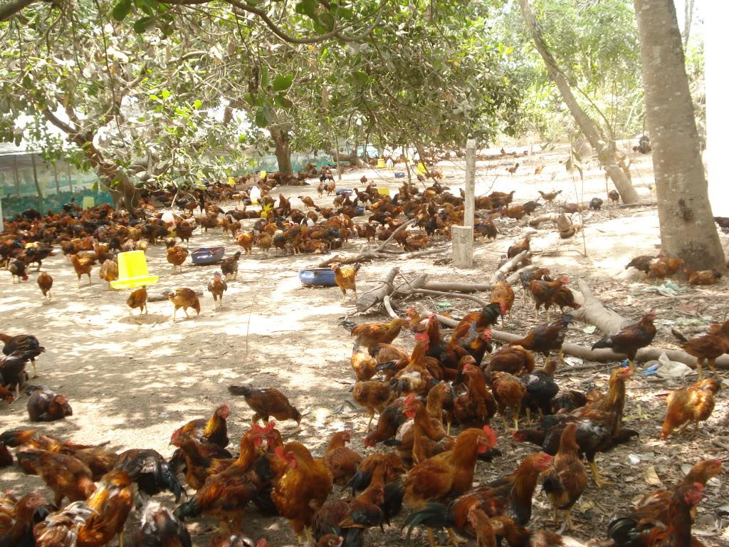 Mô hình chăn nuôi gà thả vườn đem lại năng suất, chất lượng và hiệu quả kinh tế cao hơn