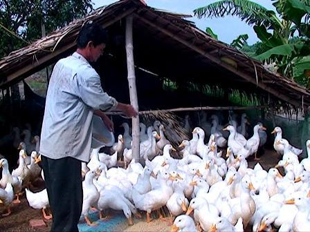 Nắm vững kỹ thuật chăn nuôi giúp nâng cao năng suất và chất lượng vịt