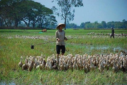 Nắm vững kỹ thuật chăn nuôi vịt thả đồng giúp bà con đạt năng suất chăn nuôi cao nhất