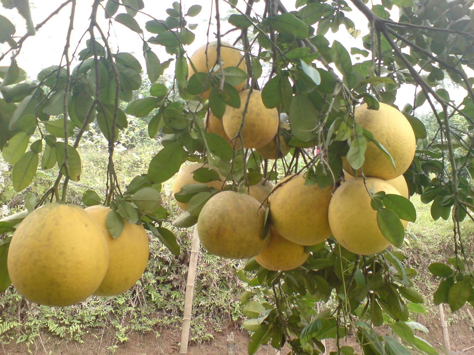 Kỹ thuật trồng cây bưởi diễn cũng rất chú trọng đến khâu chăm sóc, cắt tỉa