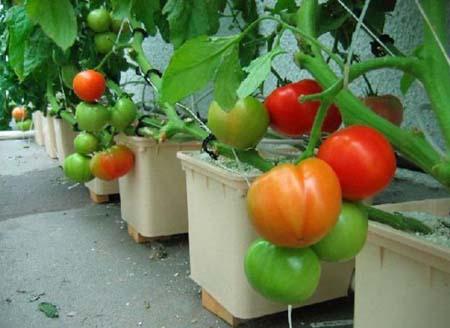 Chỉ cần chút tỉ mỉ là có thể có một vườn cà chua mini ngay tại nhà