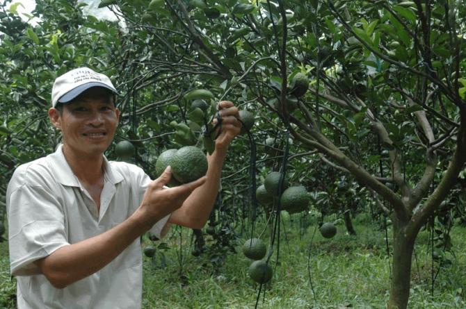 Có kỹ thuật trồng cam sành cùng với việc chăm sóc, phòng trừ sâu bệnh sẽ đạt hiệu quả mong muốn