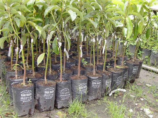 Áp dụng đúng các kỹ thuật trồng cây sẽ giúp người trồng tránh nhiều dịch bệnh cho cây