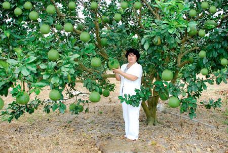 Kỹ thuật trồng cây bưởi da xanh đúng cách sẽ cho năng suất cao nhất
