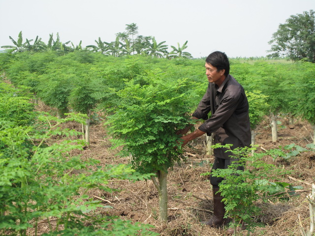 Kỹ thuật trồng cây chùm ngây yêu cầu tỉ mỉ