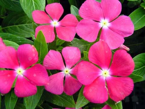 Loài hoa này có khả năng chịu hạn giỏi