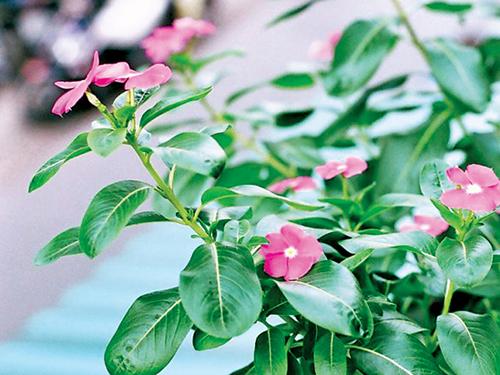 Kỹ thuật trồng cây hoa dừa cạn rất đơn giản và dễ làm