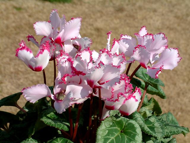 Hoa anh thảo có nhiều màu sắc đẹp mắt