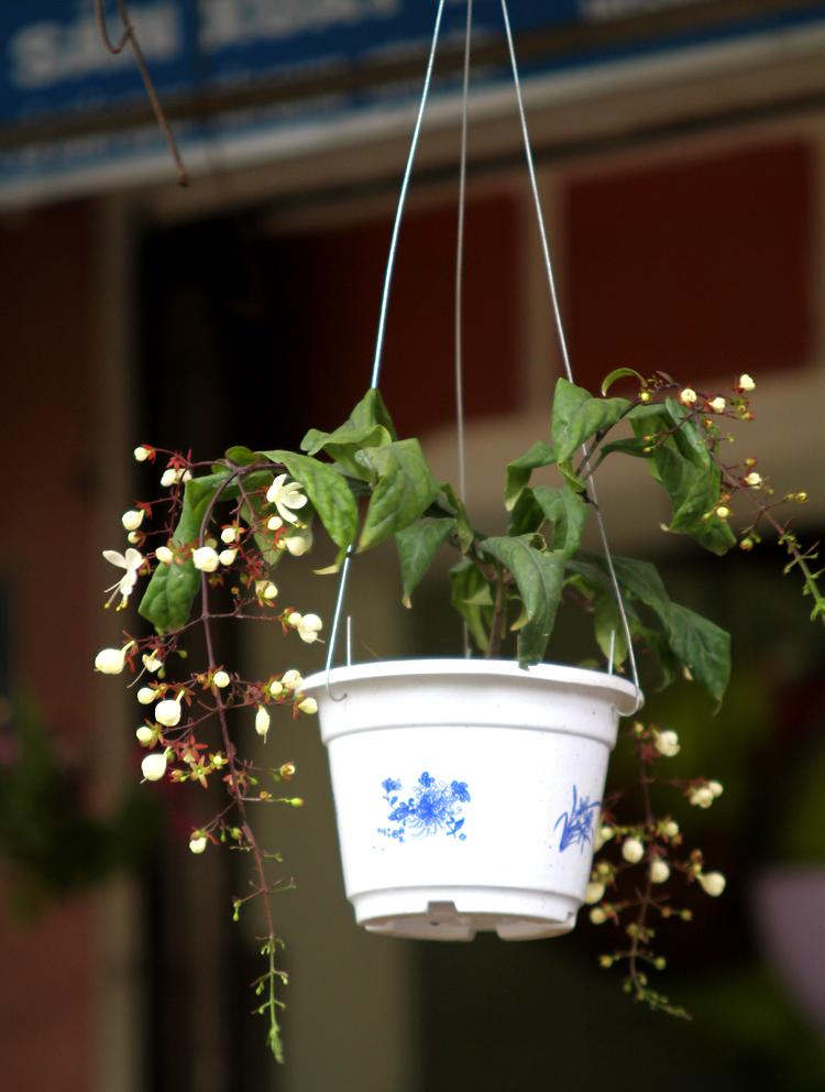 Kỹ thuật trồng cây của hoa dạ minh châu không quá phức tạp như mọi người nghĩ