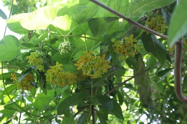 Cây hoa thiên lý có kỹ thuật trồng cây không phức tạp
