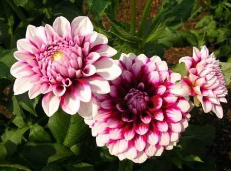 Cung cấp đủ nước, phân bón và ánh sáng là các khâu quan trọng trong kỹ thuật trồng cây hoa này