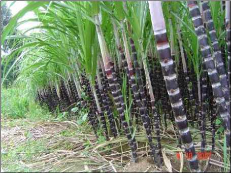 Kỹ thuật trồng cây mía cho năng suất cao - ảnh 1