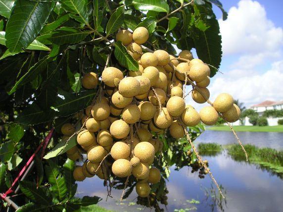 Nắng vững kỹ thuật trồng cây nhãn sẽ cho năng suất cao nhất